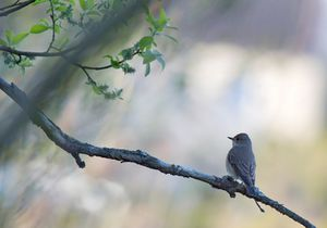 beskrivelser av fuglelyder